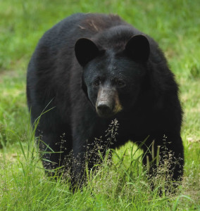 Black bear in grass